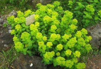 jardin Euphorbia: variétés