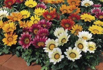 Gatsaniya Blume – wachsen und Pflege