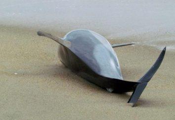 ¿Por qué los delfines son BEACHing a sí mismos: la opinión científica