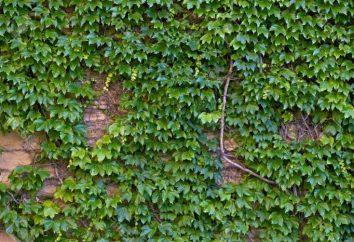 Hiedra de hoja perenne jardín: descripción, el cultivo, propagación