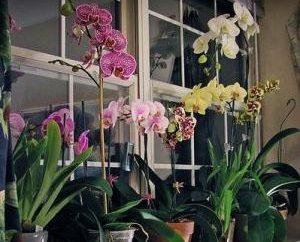 Orchidea: Come l'acqua il fiore in modo corretto