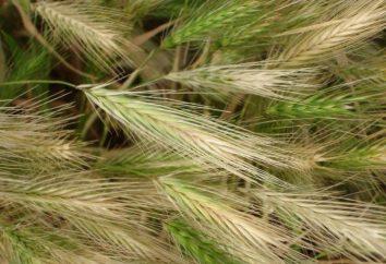 Orzo maned: caratteristica, semina, cura