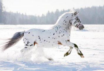 Appaloosa (Pferd): Beschreibung, Ausstattung, Pflege, Ursprungsgeschichte und Rezensionen