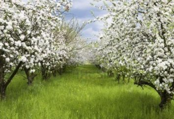 Karłowate jabłonie – ozdobą każdego ogrodu