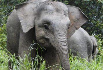 Karłowaty słoń: rozmiarach. Karłowaty słoń w domu