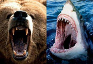 Praca dla analityka: kto jest silniejszy – rekin lub niedźwiedzia