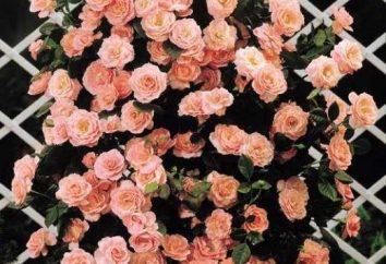 Crecemos rosas trepadoras. Siembra y cuidado