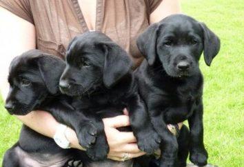 Labrador negro – tus amigos leales y asistentes confiables