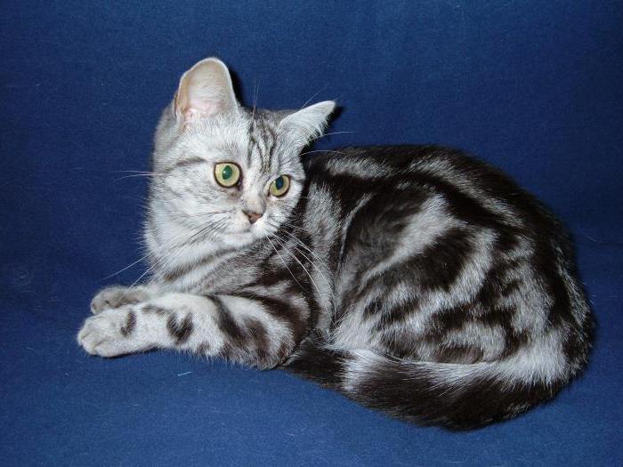 Koty Kolor Pręgowany W Wielkiej Brytanii Foto