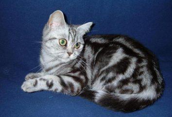 gatti tabby Colore nel Regno Unito (Foto)
