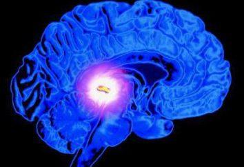 Epifisi – che cosa è? Struttura e funzione dell'epifisi