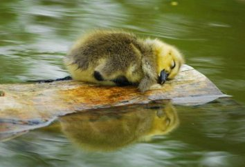 Question sur l'interprétation des rêves: rêve à quelque chose d'un petit canard?