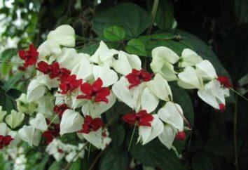 Klasyka gatunku – Clerodendrum: opieka w domu