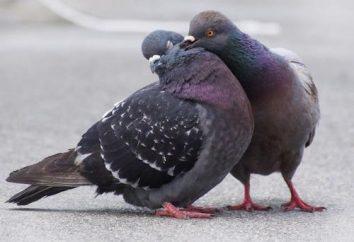 Jak gołębie mate, rasę
