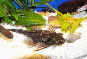 Catfish Ancistrus – niestrudzony akwarium medic