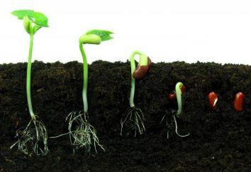 Kiełkowanie nasion: warunki. Jak sprawdzić kiełkowanie nasion pieprzu