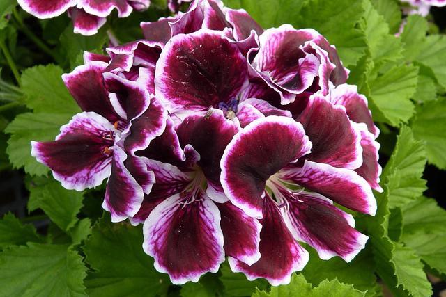 Bellissimi fiori gerani a casa for Fiori gerani