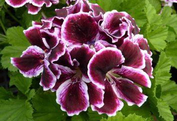 Belas flores: gerânio em casa