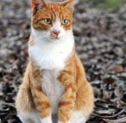 Vitaminas para gatos a partir de la caída del cabello: revisiones
