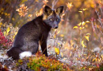 Chernoburaya Fox: foto, descrizione. Chernoburaya volpe in natura e in casa