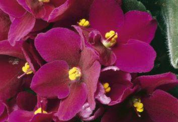 Saintpaulia coltivazione di fiori, la cura a casa