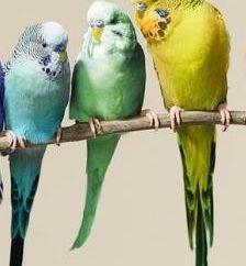 Ile lat mieszkał papużka falista? odpowiedzi ornitolodzy