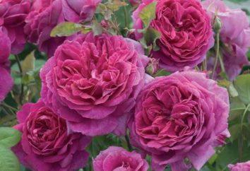 """Seria """"Zapach dzikiej róży"""": opinie"""