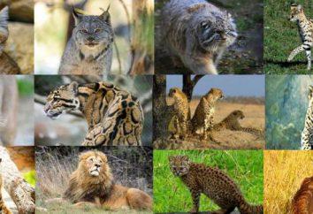 Razza di gatti selvatici: una recensione, caratteristiche, opinioni e fatti interessanti