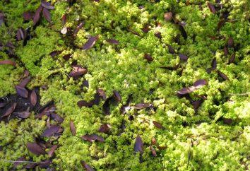 Co rośliną Bagno, bagna dezynfekcji wody, rośnie u nas?