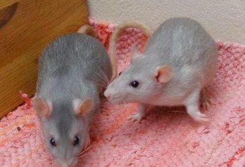 Niebieski szczur – idealne dla zwierząt domowych