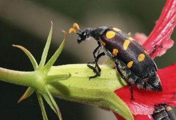 Meloidae beetle: cechy i wygląd