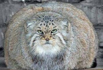 gatos mais gordos do mundo. As raças mais inteligentes de gatos. Os maiores gatos domésticos. O gato mais rápido do mundo