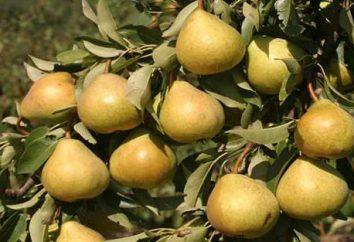 """Pera """"moscovita"""": descrição da variedade, o cultivo e manutenção"""