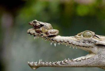 Crocodile – ein Reptilien und Amphibien? Gemeinsamkeiten und Unterschiede