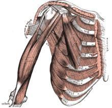 Biceps brachial comme l'un des principaux éléments des mains du système musculo-squelettique. La structure du biceps