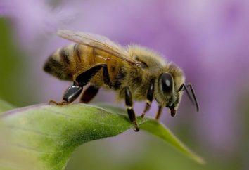 Abeille: faits intéressants sur les abeilles. Sauvage et les abeilles domestiques