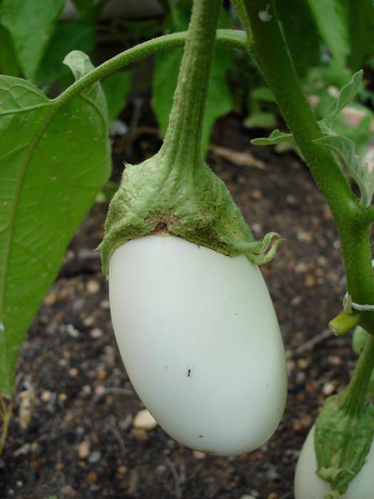 Lors de la plantation des plants d'aubergine? Les semis de ...