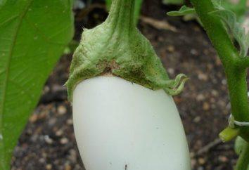 Lors de la plantation des plants d'aubergine? Les semis de plants d'aubergine. Comment planter des plants d'aubergine?