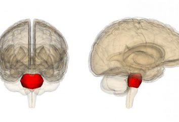 Struktura mózgu. pons