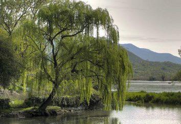 Willow (tree): Opis. Wierzba – drzewo lub krzew?