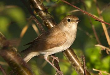 Les oiseaux insectivores: le nom