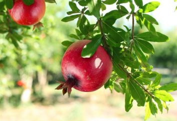 Was sind die nützlichen Granaten? Nützliche und medizinische Eigenschaften von Granatapfel