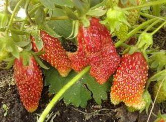 Zemklunika: varietà, in particolare piantando e manutenzione