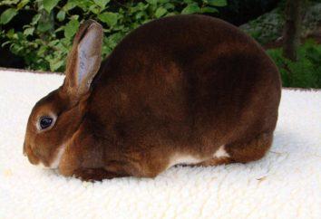 Kann ich Kaninchen Äpfel? Was Sie können und kann nicht an Kaninchen gegeben werden?