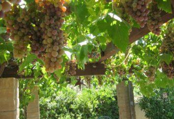 uve ad arco: la descrizione delle varietà, la coltivazione e la manutenzione