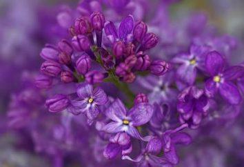 Sadzenie i pielęgnacja bzu na wiosnę