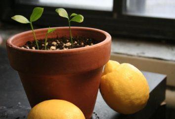 Ogród okna: jak dbać o dom dla cytryną