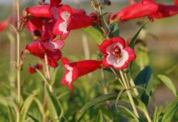 Penstemon: aus Samen, Pflege, Reproduktion. Methoden der Zucht Penstemon mehrjährig