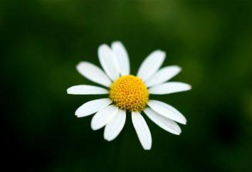 Warum Traum einer Daisy: mehrdeutige Interpretation der Träume