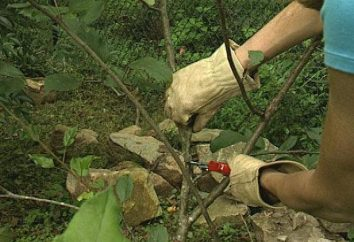 Poda de árvores de cereja no outono – exercício obrigatório e regular
